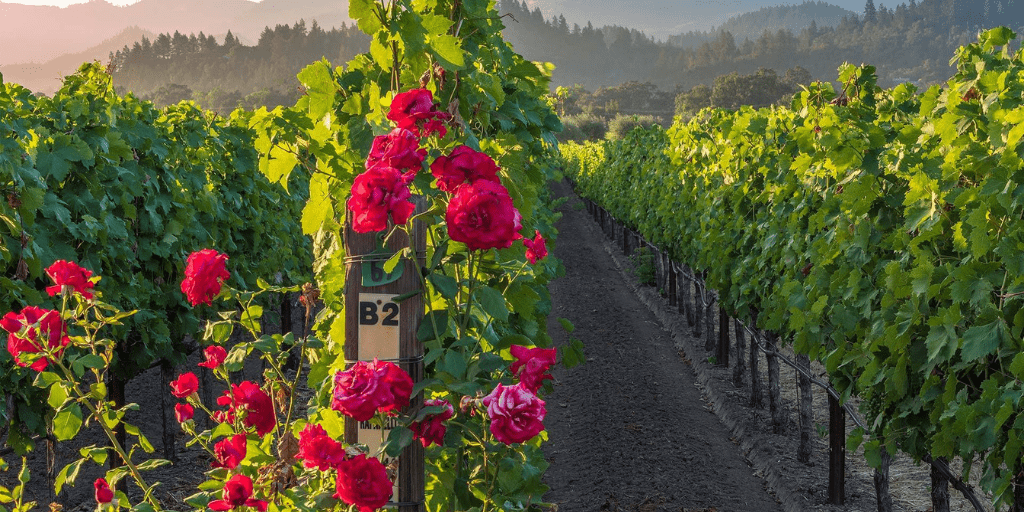 Why are rose bushes planted in vineyards?